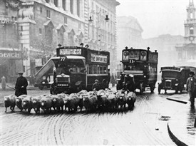Photo:Sheep along Charing Cross Road were not an uncommon site in the early 20th century
